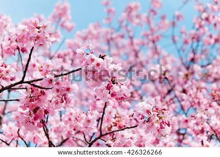cherry blossom season - stock photo