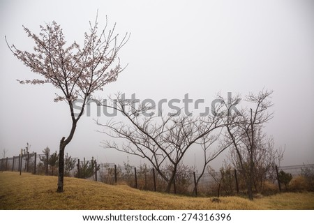 Cherry blossom tree in misty day - stock photo