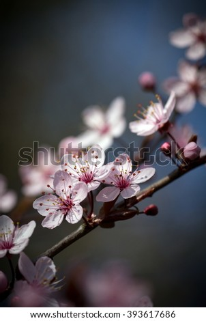 Cherry Blossom Twig - Dark Background - stock photo