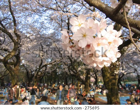 cherry blossom viewing at koganei park in japan