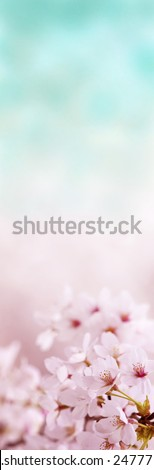 Cherry blossom with pastel spring blue background. vertical dimension. - stock photo
