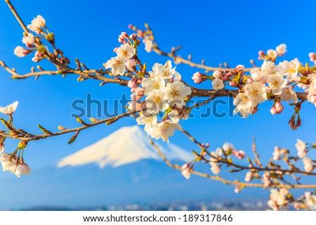 Cherry Blossom with the background of Mt.fuji, lake Kawaguchiko - stock photo