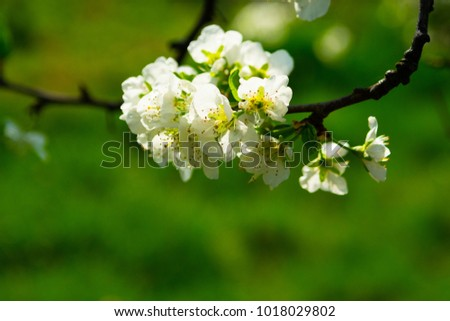 cherry blossoming branch