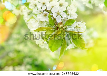 Cherry blossoming. Sunny day. Spring flowers with light leaks and lens flares. Selective focus - stock photo