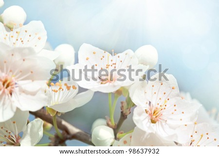 Cherry blossoms against  a blue sky - stock photo