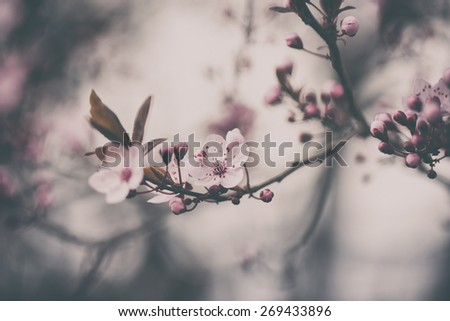 Cherry blossoms. Analog effected photo - stock photo