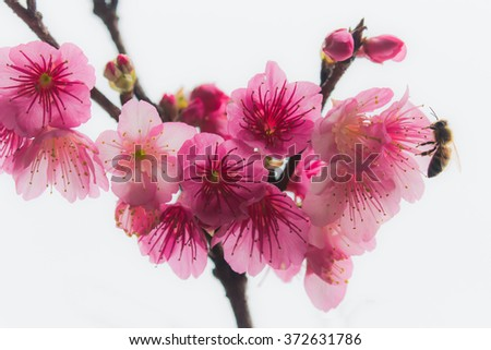 Cherry blossoms and bee  - stock photo