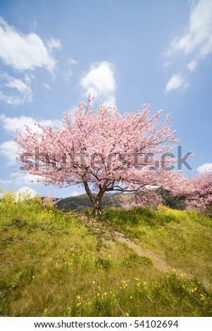 Cherry blossoms and yellow flowers. - stock photo