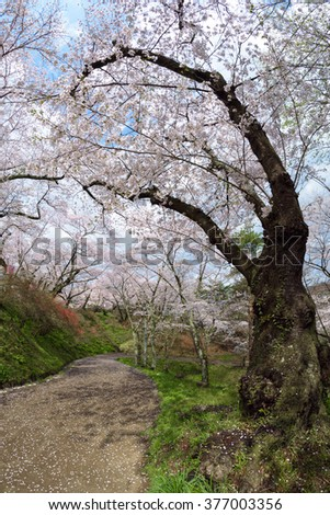 cherry blossoms at Funaoka Castle Ruin Park,Japan