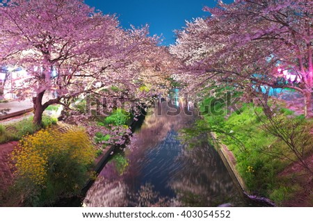 Cherry blossoms at night at the Ebigawa river in Funabashi, Chiba, Japan