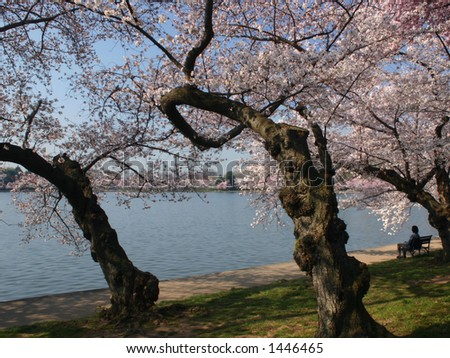 Cherry Blossoms at the Tidal Basin in Washington DC