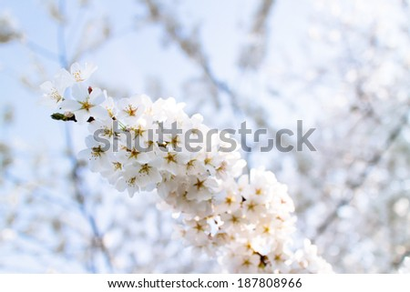 Cherry Blossoms at Tidal Basin, Washington DC., USA. - stock photo