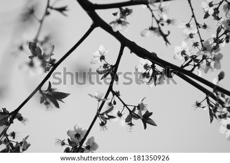 Cherry blossoms background in black and white in black and white - stock photo