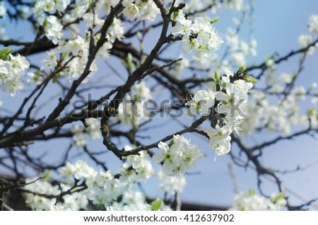 Cherry blossoms bloomed beautifully in the spring - stock photo