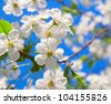 Cherry blossoms close up against the blue sky. - stock photo