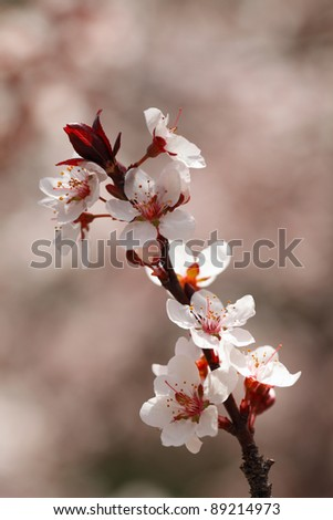 Cherry blossoms closeup, shallow Depth of Field. - stock photo