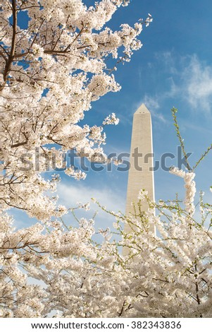 Cherry blossoms in bloom at the Washington Monument in DC - stock photo