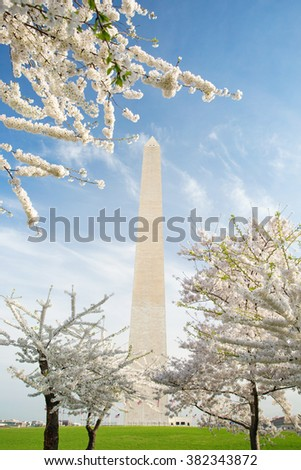 Cherry blossoms in bloom at the Washington Monument in DC