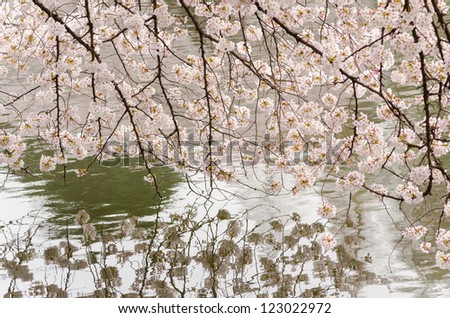 Cherry blossoms in full bloom and pond of Japanese garden