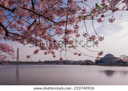 Cherry blossoms in peak bloom. Washington D.C. - stock photo
