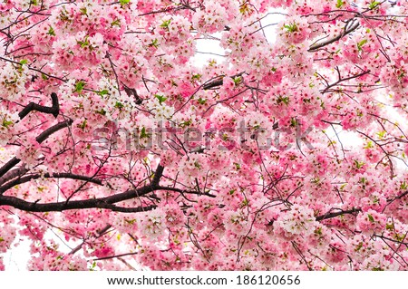 Cherry blossoms in Spring, Washington DC, USA - stock photo