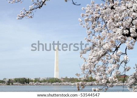 Cherry Blossoms in Washington DC, view of the Washington Monument and the Tidal Basin