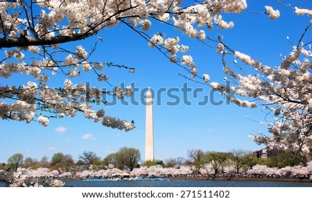 Cherry blossoms in Washington, DC with the National Monument in the background