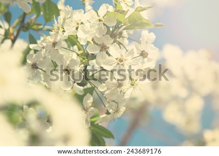 Cherry blossoms on a branch in the sunshine. Tonning photo - stock photo