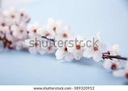 Cherry Blossoms on Blue Background - stock photo
