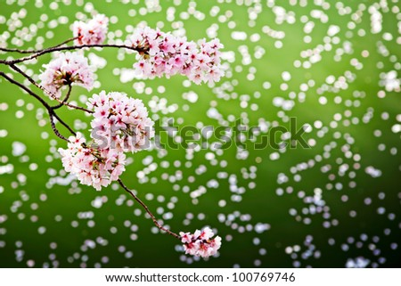 Cherry blossoms over the Tidal Basin in Washington DC - stock photo