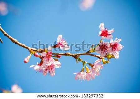 cherry blossoms (pink) and blue background - stock photo