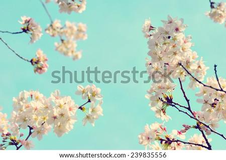 Cherry blossoms/retro photo image - stock photo