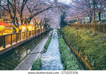 cherry blossoms sakura at sunset, busan city in south korea - stock photo