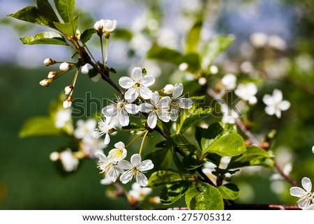 Cherry blossoms. Spring flowers. Spring Background with bokeh - stock photo
