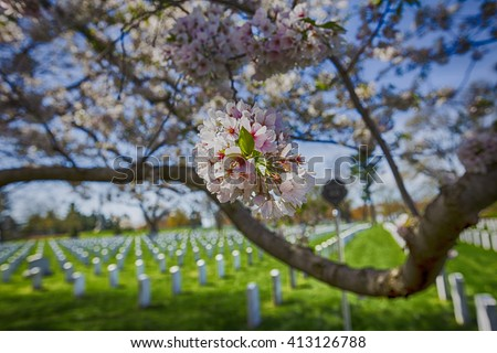 Cherry blossoms trees arlington cemetery pink stock photo 100 cherry blossoms trees in arlington cemetery pink flowers tree grave of unknown soldiers mightylinksfo