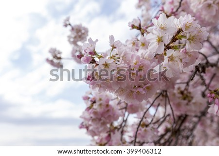 Cherry blossoms trees in Washington DC 2016. Tidal basin - stock photo