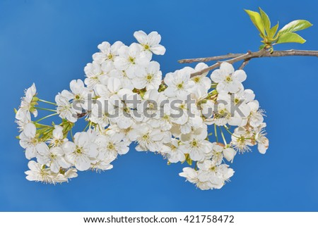 Cherry blossoms, white flowers on a background of blue sky. - stock photo