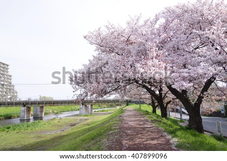 Cherry blossoms Yoshino cherry tree