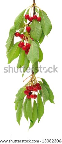 Cherry branch with leaves and berries isolated on white background - stock photo