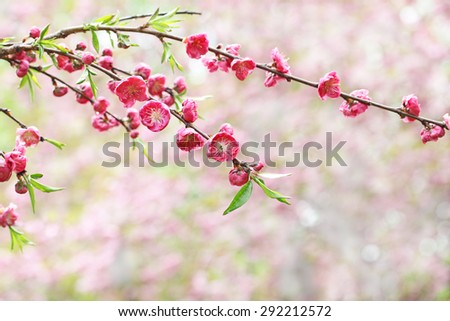 Cherry flower blooming in the spring time - stock photo