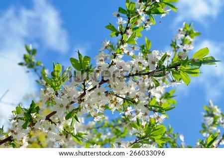 cherry flowers - stock photo