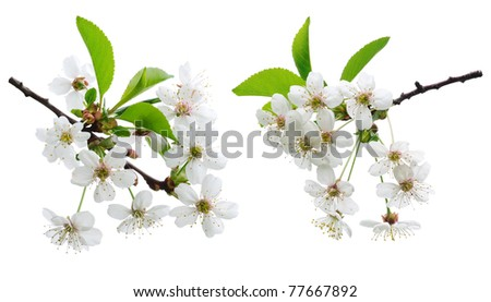 Cherry flowers - stock photo