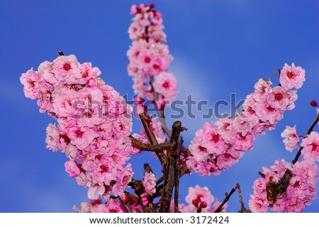 Cherry flowers in spring. Shot in Larkspur, Marin county, San Francisco Bay Area, California. - stock photo