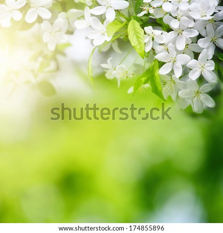 cherry flowers in sun light on green background with selective focus
