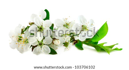 Cherry flowers isolated on white background close-up - stock photo