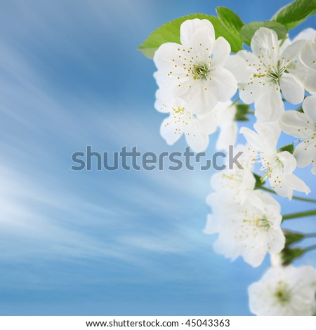 Cherry flowers, on blue skies - stock photo