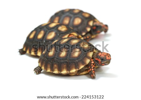 Cherry Head Red-footed Tortoise on white background. - stock photo