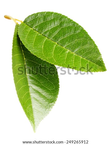 Cherry leaf on isolated
