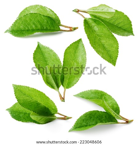 Cherry leaves isolated on white background. Collection - stock photo