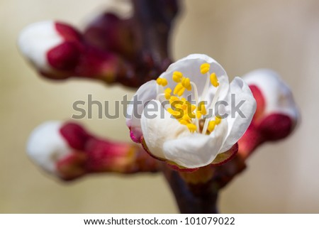 cherry little and simple flowers in spring - stock photo